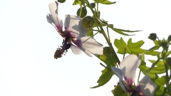 Lavatera acerifolia, malva de risco (Malvaceae) Stock Footage