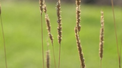 Timothy-grass (Phleum pratense) Stock Footage