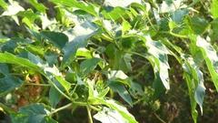 Datura stramonium, common names Jimson weed Stock Footage