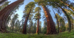 Giant Sequoia Tree Forest Stock Footage