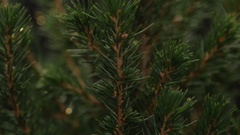 Fir tree isolated on black background Stock Footage