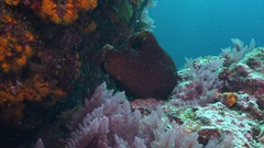 Sea hare feeding on pink soft coral Stock Footage