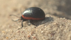 Black Leaf beetle with red stripe on belly crawl across sand macro Stock Footage