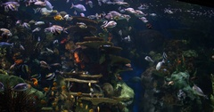 Many Tropical Fish Swimming in Coal Reef Schools of Fish Wide, 4K Stock Footage
