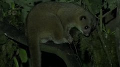 Kinkajou sits in tree in the night licking hands Stock Footage