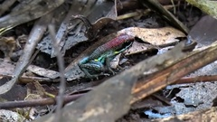 Ecuador Poison Frog sit out in open between leafes on lowland rainforest Stock Footage
