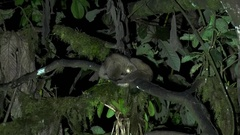 Olinguito lay in tree in the night looking down and put head under body Stock Footage