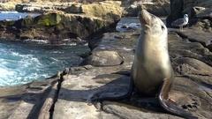 The seals on the beautiful coast of California. San Diego. Stock Footage