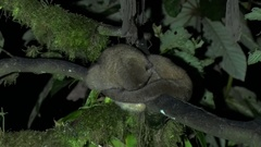 Olinguito lay in tree in the night with head under tail and look up Stock Footage