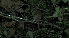 Olinguito scratches back and yawn in tree in the night Stock Footage