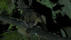 Olinguito move in tree in the night laying down looking around Stock Footage