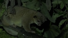 Olinguito sit in tree in the night sniffing and lay down Stock Footage