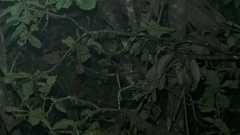 Andean White-eared Opossum move in mountain rainforest tree in the night Stock Footage