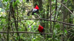 Cock of the Rock males sit on branch jumping and looking around Stock Footage