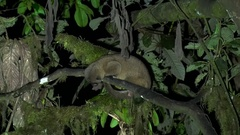 Olinguito lay in tree in the night looking down Stock Footage