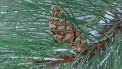 Pine Branch with Cones and Melting Snow in the Wind close-up Stock Footage
