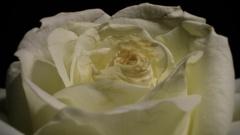 Shriveling White Rose - 29,97FPS NTSC Stock Footage