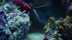 Small exotic crustaceans Stock Footage