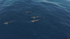 Common dolphins synchronous move, HD aerial Stock Footage