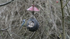 Eurasian blue tit (Cyanistes caeruleus) Stock Footage