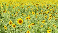 Sunflowers in the wind on field. Stock Footage