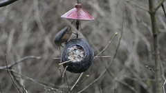 Wood nuthatch (Sitta europaea) on bird feeder in winter. coconut Stock Footage