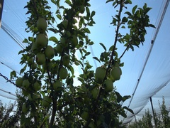 Apple orchards with Protection cover nets ,sun light  Stock Footage