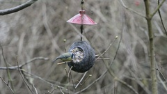 Two Eurasian blue tits (Cyanistes caeruleus) on bird feeder in winter. coconu Stock Footage