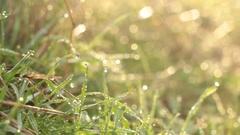 Wet Tall Grass, Water Drop - More Light, Tripod - Morning Woods Stock Footage
