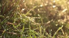 Wet Tall Grass, Water Drop - Tripod - Morning Woods Stock Footage