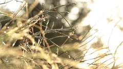 Sticks Bush - Tripod - Morning Woods Stock Footage