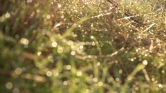 Wet Tall Grass, Water Drop - Full Front Pull Focus, Tripod - Morning Woods Stock Footage