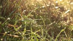 Wet Tall Grass, Water Drop - Pull Focus, Tripod - Boadilla, Madrid Stock Footage