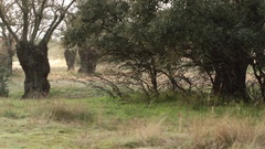 Bush Path - Background Focus, Right to Left Fast Pan, Tripod - Morning Woods Stock Footage