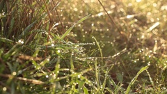 Wet Tall Grass - Pull Focus Back, Tripod - Morning Woods Stock Footage