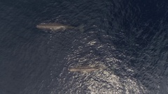 Sperm whales with whale watching boats, HD aerial Stock Footage