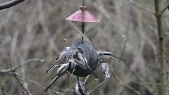 Long-tailed tit (Aegithalos caudatus) on bird feeder in winter. coconut Stock Footage