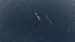 Topshot of 3 fin whales swimming in the ocean, HD aerial Stock Footage