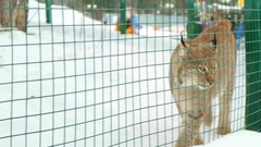 Most lynx walks restlessly from side to side. Animals in winter. Arkistovideo