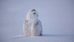 Snowy owl looks you in the eyes Stock Footage