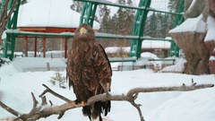 The eagle sits on a dry branch and looks. Winter Zoo. Stock Footage