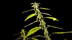 Backlit nettle plant swaying in the wind with black background. Stock Footage