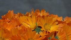 Marigold calendula officinalis herb flower blooms. turntable Stock Footage