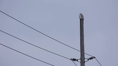Snowy owl perched on electrical pole Stock Footage