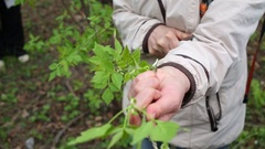 Woman cuts off the branch of a tree for grafting in the park Stock Footage