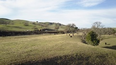 Aerial Drone Footage Of Santa Ynez, CA flying over to some cows Stock Footage