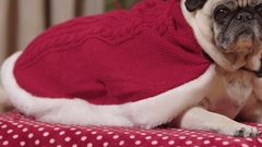 A cute pug dog in Christmas clothes lays in front of a decorated tree Stock Footage