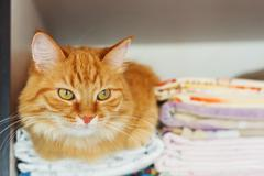 Cute ginger cat sleep in forbidden place - in wardrobe with clean bed linen. Stock Photos