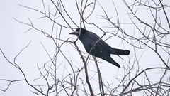 Raven bird corbie sitting on a branch of strong wind, dry tree Stock Footage