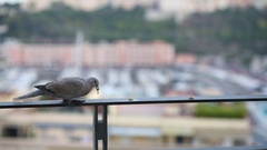 Lonely turtledove eats a treat on the balcony railing Stock Footage